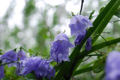 Dzwonów kwiaty obrazy royalty free
