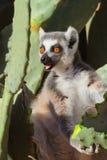 Dzwonić lemura cattta, ringowy ogoniasty lemur, portretowość z pomarańczowymi oczami Fotografia Stock