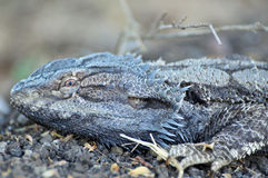 Dzwoniąca rodzima Australijska jaszczurka Wodny Smok Zdjęcia Royalty Free