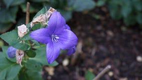 Dzwonkowego kwiatu błękit obraz royalty free