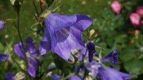 Dzwonkowego kwiatu błękit obrazy stock