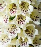Dzwonkowego kwiatu roślina w ogródzie Fotografia Royalty Free