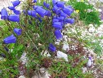 Dzwonkowego kwiatu skały wysoka góra dolomiten Italy Obraz Royalty Free