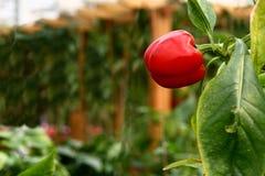 dzwonkowego pieprzu czerwień Obraz Royalty Free