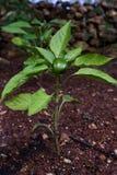 Dzwonkowego pieprzu roślina Zdjęcie Royalty Free