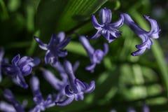dzwonkowi fioletowe kwiaty Zdjęcia Stock