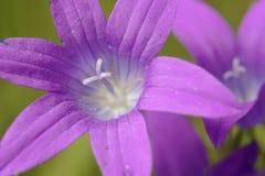 dzwonkowy błękitny kwiat obrazy royalty free