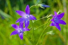 dzwonkowy błękitny kwiat obrazy stock