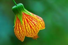 dzwonkowy kwiat Obrazy Stock