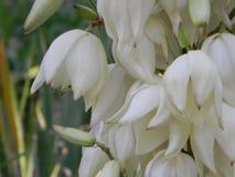 Dzwonkowy kwiat Zdjęcie Royalty Free