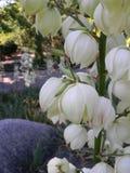 Dzwonkowy kwiat obrazy royalty free