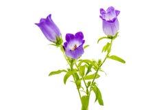 Dzwonkowy kwiat odizolowywający Zdjęcia Stock