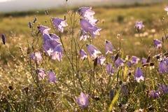 Dzwonkowy kwiat z ranek rosą Zdjęcie Stock