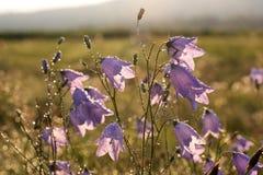 Dzwonkowy kwiat z ranek rosą Obraz Stock