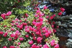 Dzwonkowy wrzos zdjęcie royalty free