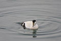 Eíder Duck Male Fotografía de archivo