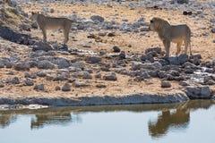 Żeńscy i męscy lwy Fotografia Royalty Free