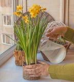 Żeńscy ręki podlewania daffodils w garnku Obraz Stock