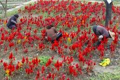 Żeńscy robotnicy w czerwonych flowerfields w Wuzhen, Chiny zdjęcie royalty free