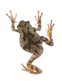 Żeńscy szarzy drzewnej żaby Hyla chrysoscelis, versicolor/. Widok od Obraz Stock
