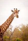 Żeńska żyrafa zdjęcia stock