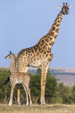 Żeńska żyrafa z dzieckiem w sawannie Kenja Tanzania 5 2009 Africa tana wschodnich maasai marszu spełniania Tanzania wioski wojown zdjęcie royalty free