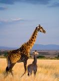 Żeńska żyrafa z dzieckiem w sawannie Kenja Tanzania 5 2009 Africa tana wschodnich maasai marszu spełniania Tanzania wioski wojown zdjęcie stock