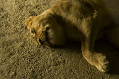 Żeńska Afrykańska lwica (Panthera Leo) Fotografia Royalty Free