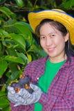 Żeńska agriculturist ręka pokazuje mangostany Obrazy Royalty Free