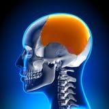 Żeńska Ciemieniowa kość - czaszki, Cranium anatomia/ ilustracji