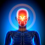 Żeńska czaszka, Cranium/- anatomii kości royalty ilustracja
