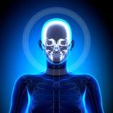 Żeńska czaszka, Cranium/- anatomii kości ilustracja wektor