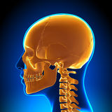 Żeńska czaszki, Cranium anatomia/ royalty ilustracja