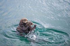 Żeńska dorosła denna wydra z dzieckiem Fotografia Stock