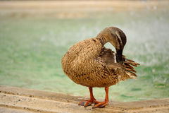 Żeńska dzika kaczka Fotografia Stock