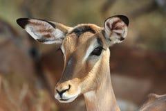 Żeńska Impala antylopa obraz royalty free
