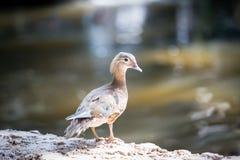 Żeńska kaczka Obrazy Royalty Free