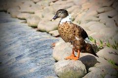 Żeńska mallard kaczka Obraz Royalty Free
