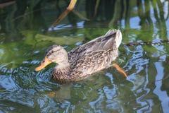 Żeńska mallard kaczka Zdjęcie Royalty Free