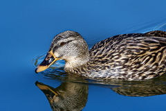 Żeńska mallard kaczka Obrazy Royalty Free
