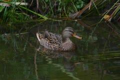 Żeńska mallard kaczka na rzece Zdjęcia Royalty Free