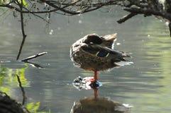 Żeńska Mallard kaczka Odpoczywa na skale w jeziorze Zdjęcie Stock