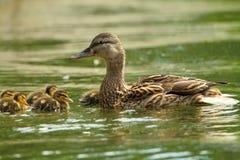 Żeńska mallard kaczka z kaczątkami na jeziorze Zdjęcia Royalty Free