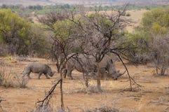 Żeńska nosorożec z swój dzieckiem w Pilanesberg parku narodowym Fotografia Royalty Free