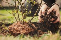 Żeńska ogrodniczka zasadza czarna jagoda krzaka Zdjęcia Royalty Free