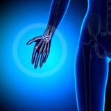 Żeńska ręka - anatomii kości Obraz Stock