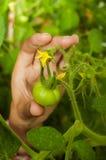 Żeńska ręka bierze zielonego pomidoru Zdjęcie Stock