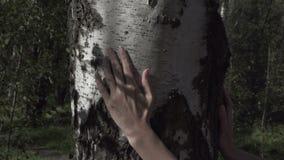 Żeńska ręka muska brzoza bagażnika zbiory wideo