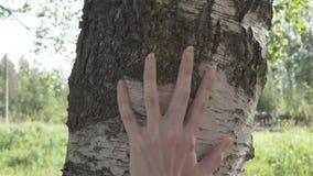 Żeńska ręka muska brzoza bagażnika zbiory