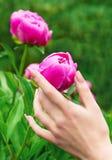 Żeńska ręka trzyma kwiat peoni obraz stock